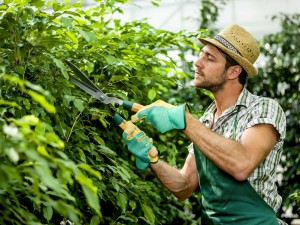 farmer pruning plants